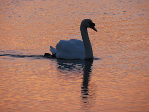 Photo: Priorslee Lake The cob Swan at sunrise: at this time of year the 'bump' at the base of the bill is very noticeable. (Ed Wilson)