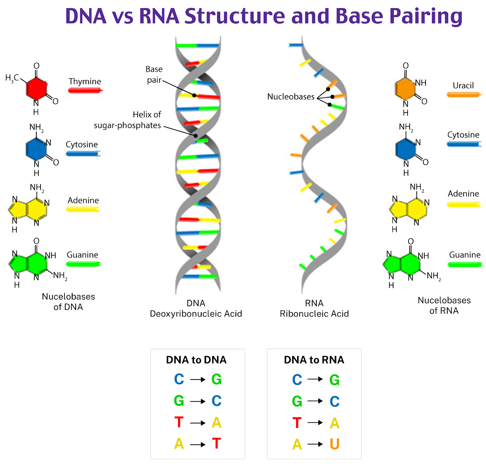 DNA vs RNA Structure and Base Pairing