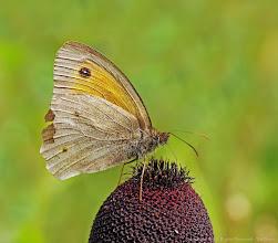 Photo: Maniola Jurtina, Myrtil, Meadow Brown http://lepidoptera-butterflies.blogspot.com/  https://www.facebook.com/pages/Macro-Photography-Do-Dema/540798875993427