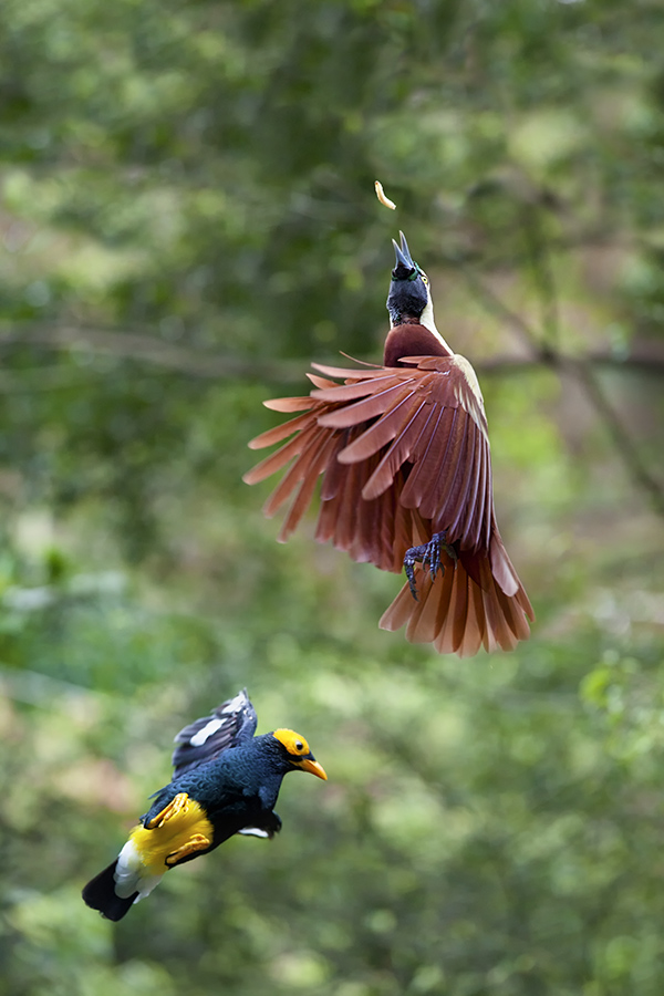 Duel by Leonardi Ranggana - Animals Birds
