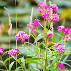 Rose milkflower, rose milkweed, swamp milkweed, swamp silkweed, white Indian hemp,