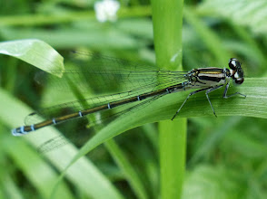 Photo: Große Pechlibelle (Ischnura elegans)
