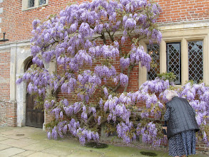 Photo: Wisteria at Blickling Hall.