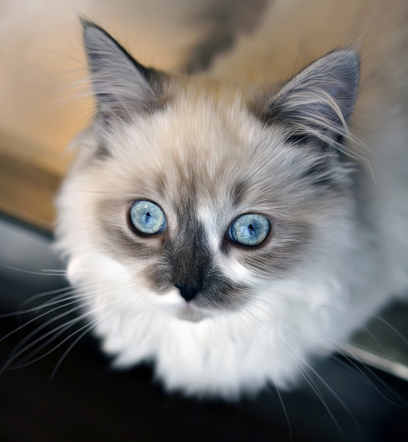 by Amy Gant - Animals - Cats Portraits