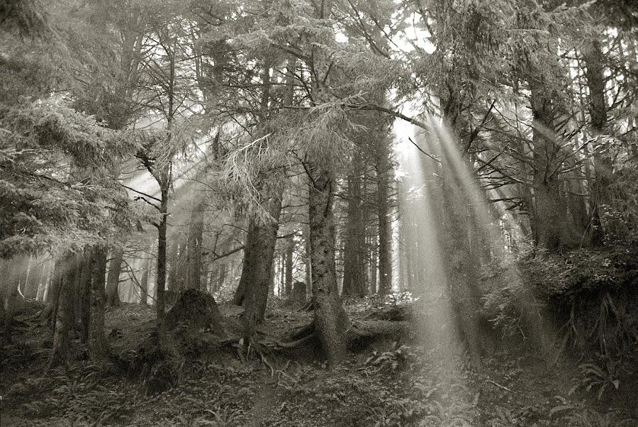 Morning Light by Craig Pifer - Landscapes Forests ( oregon, trees, forest, morning, light, rays, sun rays )