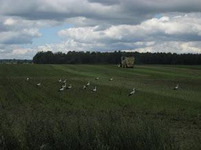 Photo: podkarpackie pole ... usiane bocianami