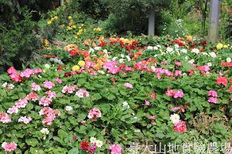 Photo: 拍攝地點: 梅峰-溫帶花卉區 拍攝植物: 天竺葵(前方)和大理花(後方) 拍攝日期:2012_07_24_FY