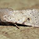 Dart Moth