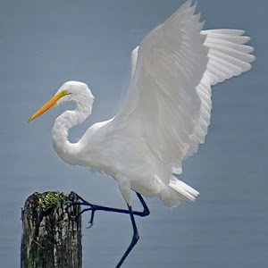 Great-Egret-in-Shallow-Waters.jpg