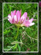 Photo: Trèfle alpin, Trifolium alpinum