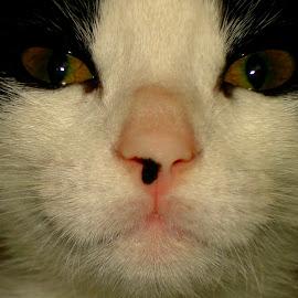 Heidi by Rhonda Kay - Animals - Cats Portraits (  )