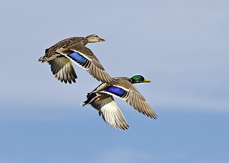Mallards in Flight by Steve Forbes - Animals Birds ( flight, sky, female, mallards, male, feathers )