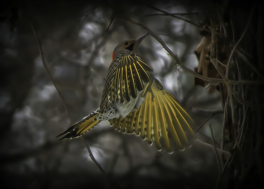 FLICKER by Dana Johnson - Animals Birds ( northern flicker, bird in flight, flicker, animals, birds )