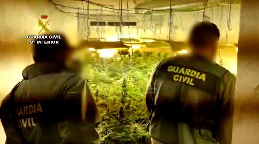 Incautan más de 2.700 plantas de marihuana y detienen a siete personas