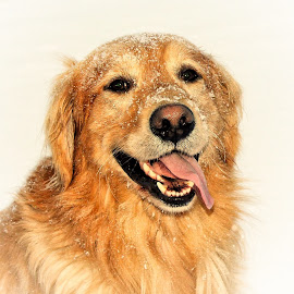 Let It Snow by Patricia Phillips - Animals - Dogs Portraits ( dogs golden-retrievers snow. happy )