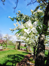 Photo: Beautiful white apple blossoms in Apple Alley at Cox Arboretum in Dayton, Ohio.