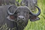 Buffalo Horn Export Data To Find Suppliers Of Buffalo Horn