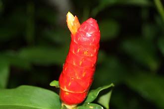 Photo: Year 2 Day 135 - Ginger Plant in Singapore Botanical Gardens
