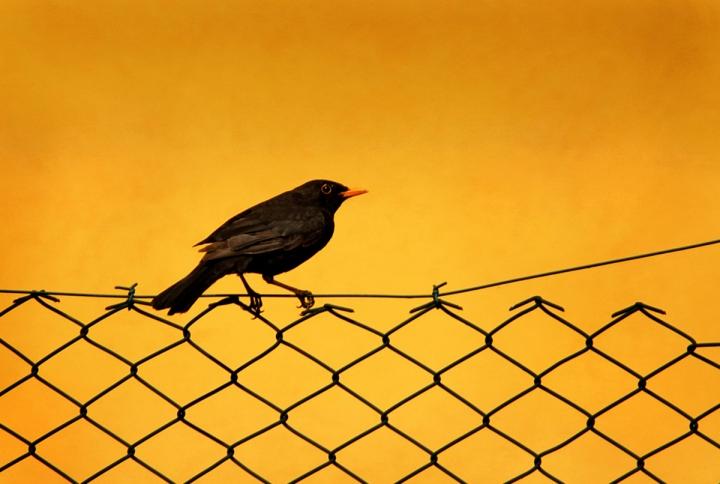Blackbird di Doroty86