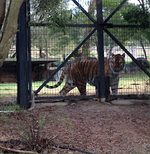Photo: Day 6: Tiger