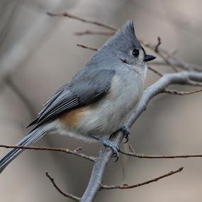 Tufted Titmouse by Ken Keener - Animals Birds ( bird, small bird, songbird, gray, posing )