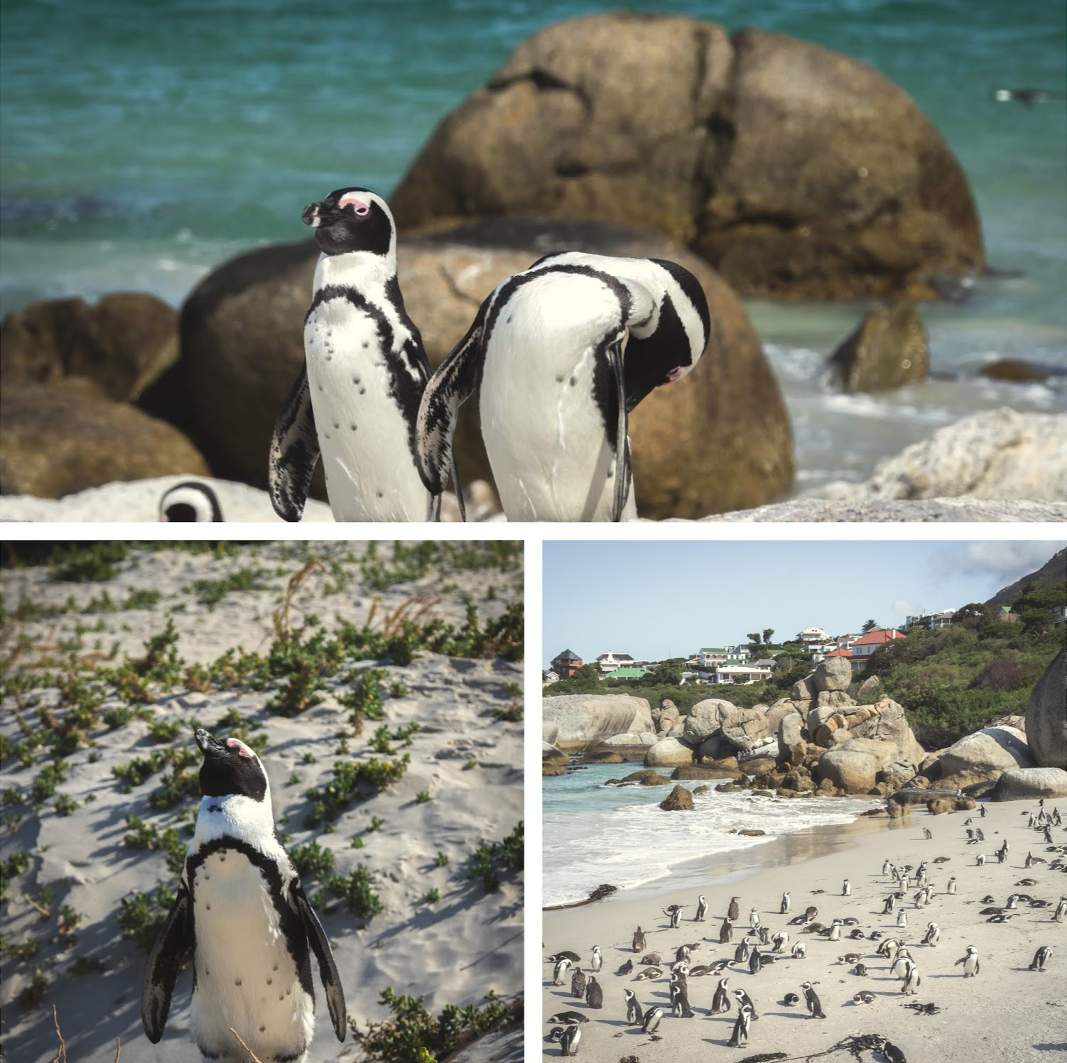 People's obsession over penguins is totally relatable now. This is the penguin colony at Boulder Beach, Cape Town.
