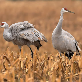 Your Choice; Rough or Smooth? by Big Pikey - Animals Birds ( smooth operator, fluffy feathers, cranes, sandhill cranes, candid crane capture, roughed up crane, big grey bird,  )