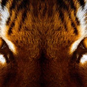 Amur Stare by Amanda Westerlund - Digital Art Things ( cat, zoo, tiger, pittsburgh, amur )