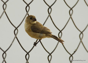 Photo: Female White-collared Seedeater, Nuevo Vallarta