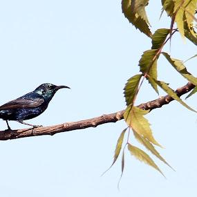 Purple Sunbird by Shubhendu Bikash Mazumder - Animals Birds