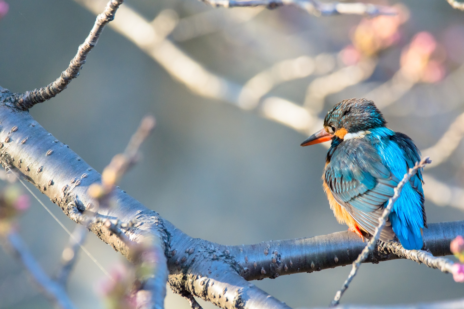 Photo: 「流れを見送る」 / Watch over the season.  そっと眺めてみる 大きな変化 小さな変化 流れの中で感じる ここにいるということ  Common Kingfisher. (カワセミ)  Nikon D7200 SIGMA 150-600mm F5-6.3 DG OS HSM Contemporary  #birdphotography #birds #kawaii #小鳥 #nikon #sigma #小鳥グラファー  ( http://takafumiooshio.com/archives/1366 )