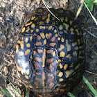Woodland Box Turtle