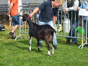 Photo: Klasse 2: 1 jarige bonte geiten. 1d. Kelly v/d Oude Schuur.