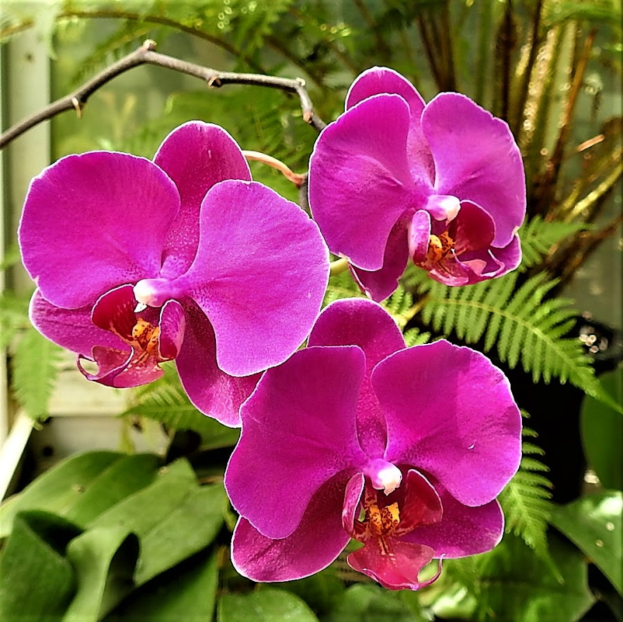 orchids in pink by Mary Gallo - Flowers Flower Gardens ( orchids, tropical flowers, flowers, pink, nature, nature up close,  )