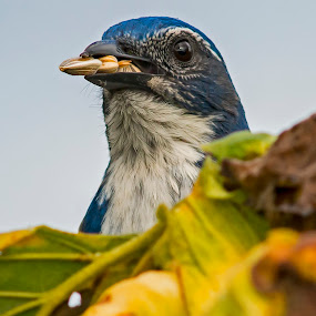 Someone Talking to Me? by Sparty Rodgers - Animals Birds ( western washington state, birds eating seeds, 600mm ais lens, d800, avian species, blue jay, scrub jay,  )