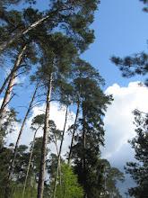 Photo: Zieleń sosen na tle błękitu nieba przełamanego nadchodzącymi biało-stalowymi chmurami. Chyba jakaś zmiana wisi w powietrzu. A tak nam dobrze szło (się).