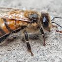 Red Dwarf Honeybee.