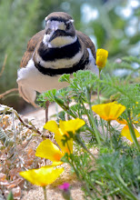 Photo: 35. The aquarium has an outstanding shorebirds exhibit ... it's so wonderful to be able to watch their behaviors up so close. Here's a killdeer, a type of plover. Here's a link to the aquarium ... http://www.montereybayaquarium.org/