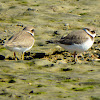 Common ringed plover juveniles?
