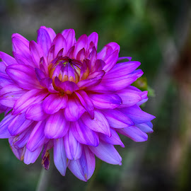 Purple Spot by Marco Bertamé - Flowers Single Flower ( close up, blooming, bloom, dahlia, purple, petals, summer )