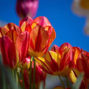 Tulips by Richard States - Flowers Flower Gardens ( flower garden, tulips, flowers, garden,  )