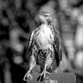 Immature Red-tailed Hawk by Debbie Quick - Black & White Animals ( raptor, debbie quick, nature, debs creative images, new york, pleasant valley, red-tailed hawk, birds of prey, outdoors, bird, animal, black and white, hawk, wild, hudson valley, wildlife )