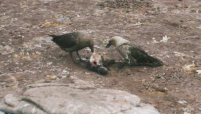 dead-chick