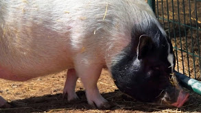 Petra's Pigs thumbnail