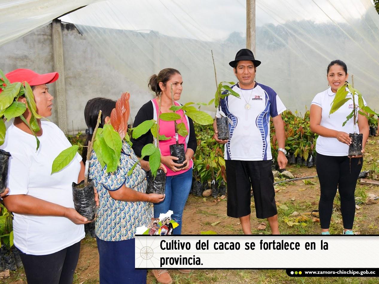 CULTIVO DEL CACAO SE FORTALECE EN LA PROVINCIA.