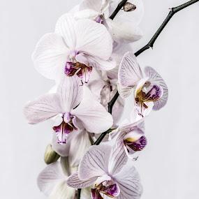 Orchidea by Susan Pretorius - Flowers Flower Arangements (  )