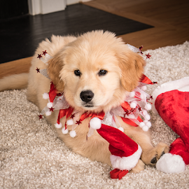 Waiting for Santa by Myra Brizendine Wilson - Animals - Dogs Puppies ( pets, wilson, puppy, dogs, canine, family, dog, pet )