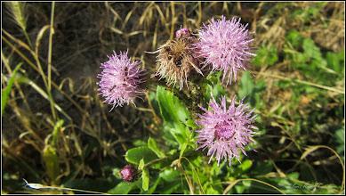 Photo: Pălămida  (Cirsium arvense) - de pe Str. Salinelor, Nr.15 - 2017.06.29