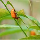 Podontia lutea 黃色凹緣跳甲