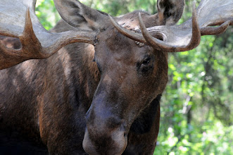 Photo: Moose, close up -- it was stuffed